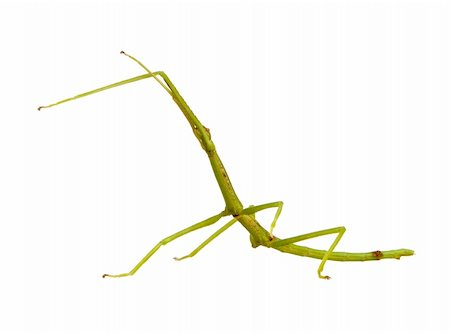 stick insect, Phasmatodea - pharnacia ponderasa in front of a white backgroung Stock Photo - Budget Royalty-Free & Subscription, Code: 400-03997771
