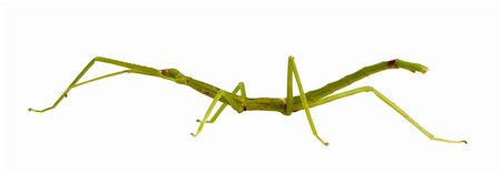 stick insect, Phasmatodea - pharnacia ponderasa in front of a white backgroung Stock Photo - Budget Royalty-Free & Subscription, Code: 400-03997772