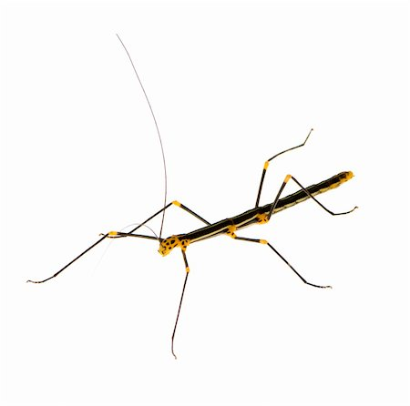 stick insect, Phasmatodea - Oreophoetes peruana in front of a white backgroung Stock Photo - Budget Royalty-Free & Subscription, Code: 400-03997785