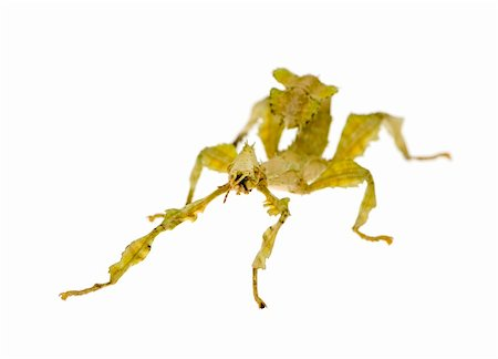 stick insect, Phasmatodea - Extatosoma tiaratum in front of a white backgroung Stock Photo - Budget Royalty-Free & Subscription, Code: 400-03997788