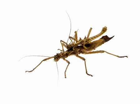 stick insect, Phasmatodea - Aretaon Asperrimus in front of a white backgroung Stock Photo - Budget Royalty-Free & Subscription, Code: 400-03997789