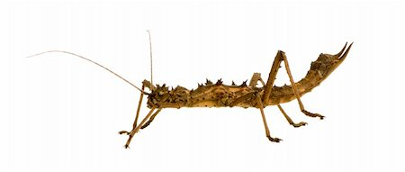 stick insect, Phasmatodea - Aretaon Asperrimus in front of a white backgroung Stock Photo - Budget Royalty-Free & Subscription, Code: 400-03997780
