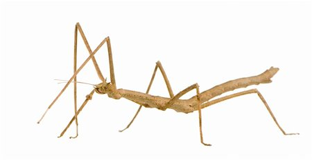 stick insect, Phasmatodea - Medauroidea extradentata in front of a white backgroung Stock Photo - Budget Royalty-Free & Subscription, Code: 400-03997781