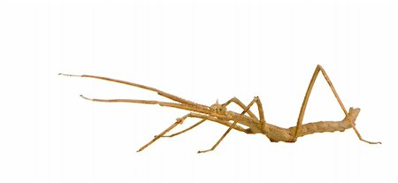 stick insect, Phasmatodea - Medauroidea extradentata in front of a white backgroung Stock Photo - Budget Royalty-Free & Subscription, Code: 400-03997782