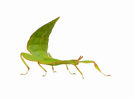 leaf insect, Phylliidae - Phyllium sp in front of a white backgroung Stock Photo - Budget Royalty-Free & Subscription, Code: 400-03997794