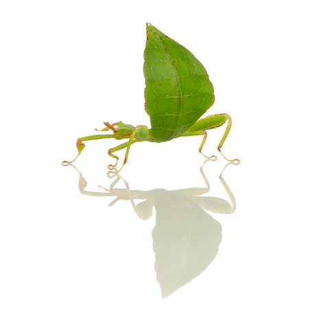 leaf insect, Phylliidae - Phyllium sp in front of a white backgroung Stock Photo - Budget Royalty-Free & Subscription, Code: 400-03997795
