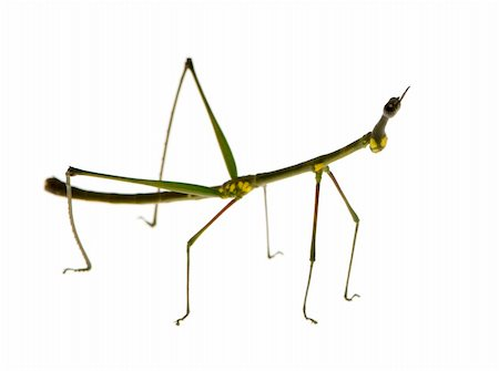 stick insect, Phasmatodea - Oreophoetes peruana in front of a white backgroung Stock Photo - Budget Royalty-Free & Subscription, Code: 400-03997791