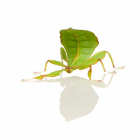 leaf insect, Phylliidae - Phyllium sp in front of a white backgroung Stock Photo - Budget Royalty-Free & Subscription, Code: 400-03997792