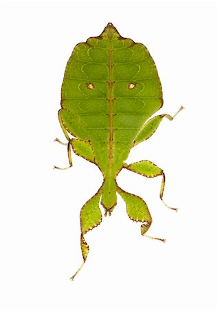 leaf insect, Phylliidae - Phyllium sp in front of a white backgroung Stock Photo - Budget Royalty-Free & Subscription, Code: 400-03997793