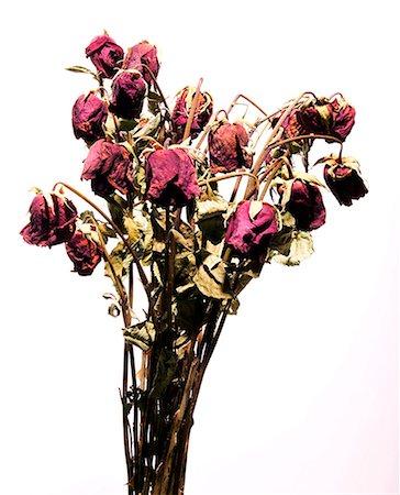 dozen roses - Dead roses Stock Photo - Premium Royalty-Free, Code: 604-00276992
