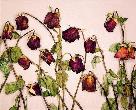 dozen roses - Dead roses Stock Photo - Premium Royalty-Free, Code: 604-00364407