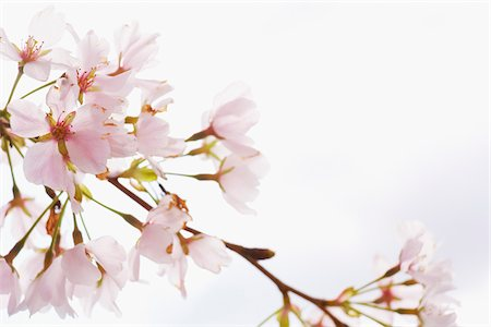 spring flowers - Close-up of Akebono Cherry Tree Blossom, Washington, D.C., USA Stock Photo - Premium Royalty-Free, Code: 600-04926384
