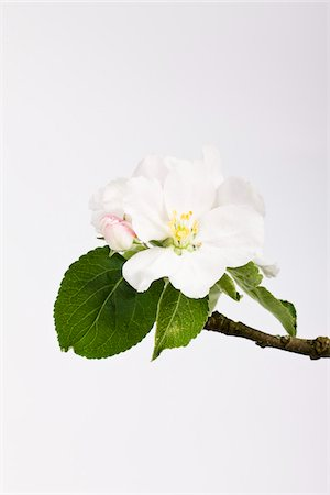 Cherry Blossom Stock Photo - Premium Royalty-Free, Code: 600-04926414