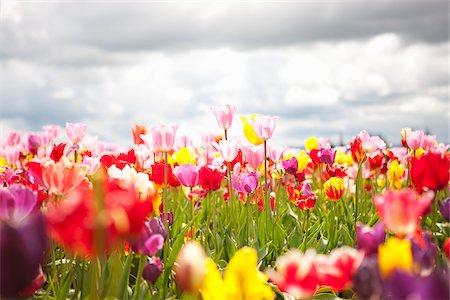 scenic and spring (season) - Tulip Farm, Woodburn, Marion County, Oregon, USA Stock Photo - Premium Royalty-Free, Code: 600-04931722