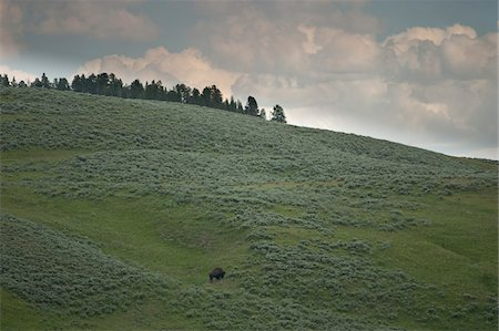 Bison on Hillside, Yellowstone National Park, Wyoming, USA Stock Photo - Premium Royalty-Free, Code: 600-05452242