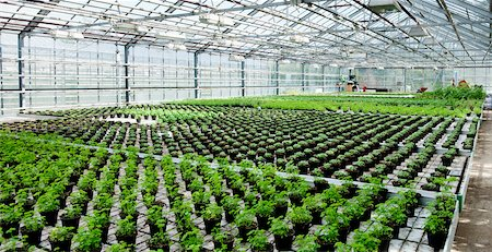 Organic Herbs in Greenhouse, Laugaras, South Iceland, Iceland Stock Photo - Premium Royalty-Free, Code: 600-05524149