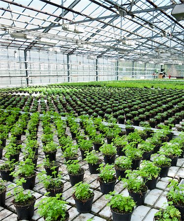 Organic Herbs in Greenhouse, South Iceland, Iceland Stock Photo - Premium Royalty-Free, Code: 600-05524150