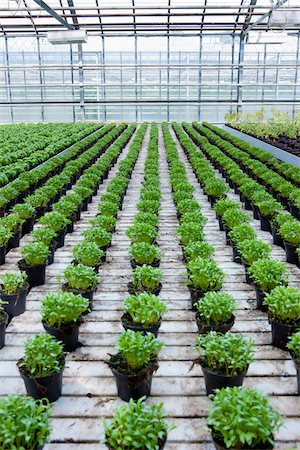 Organic Herbs in Greenhouse, South Iceland, Iceland Stock Photo - Premium Royalty-Free, Code: 600-05524151