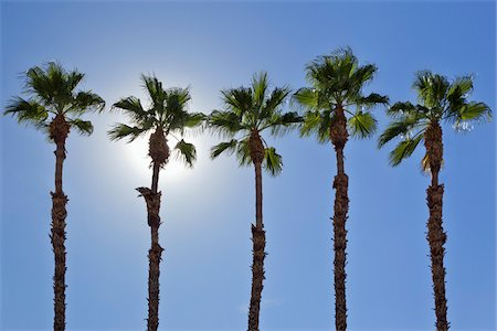 palm - Row of Palm Trees, Palm Springs, California, USA Stock Photo - Premium Royalty-Free, Code: 600-05524184