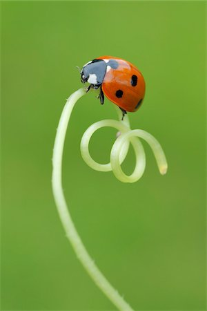spiral - Seven Spot Ladybird on Tendril Stock Photo - Premium Royalty-Free, Code: 600-05524585