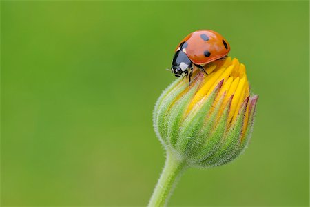 Seven Spot Ladybird on Flower Stock Photo - Premium Royalty-Free, Code: 600-05524586
