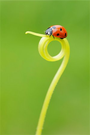 Seven Spot Ladybird on Tendril Stock Photo - Premium Royalty-Free, Code: 600-05524588