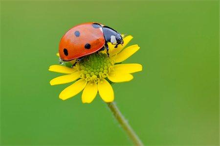 Seven Spot Ladybird on Flower Stock Photo - Premium Royalty-Free, Code: 600-05524589