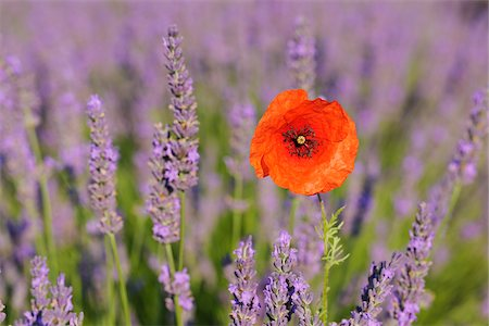 Close-up of Red Poppy in Lavender Field, Valensole Plateau, Alpes-de-Haute-Provence, Provence, France Stock Photo - Premium Royalty-Free, Code: 600-05524604