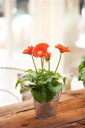 potted plant - Gerber Daisy on Table, Ontario, Canada Stock Photo - Premium Royalty-Free, Code: 600-05602735