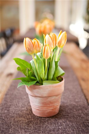 spring flowers - Tulips on Table, Ontario, Canada Stock Photo - Premium Royalty-Free, Code: 600-05602738