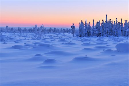 snow covered trees - Snow Covered Spruce Trees at Dusk, Nissi, Northern Ostrobothnia, Finland Stock Photo - Premium Royalty-Free, Code: 600-05610007