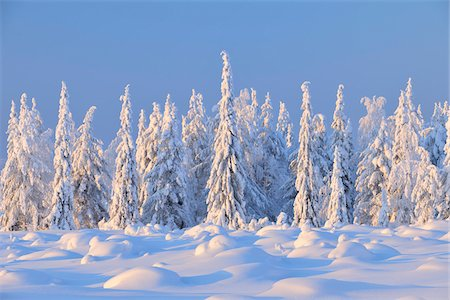 snow covered trees - Snow Covered Spruce Trees, Nissi, Northern Ostrobothnia, Finland Stock Photo - Premium Royalty-Free, Code: 600-05610008
