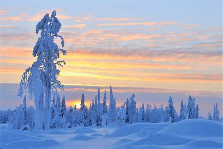 snow covered trees - Snow Covered Tree at Sunset, Nissi, Northern Ostrobothnia, Finland Stock Photo - Premium Royalty-Free, Code: 600-05610015