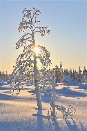 Sun and Snow Covered Tree, Kuusamo, Northern Ostrobothnia, Finland Stock Photo - Premium Royalty-Free, Code: 600-05610024