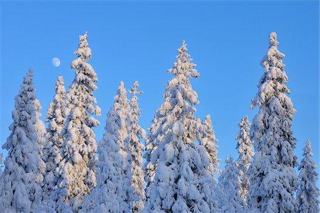Moon behind Snow Covered Trees, Kuusamo, Northern Ostrobothnia, Finland Stock Photo - Premium Royalty-Free, Code: 600-05610029
