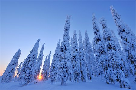 snow covered trees - Snow Covered Spruce Trees at Sunrise, Kuusamo, Northern Ostrobothnia, Finland Stock Photo - Premium Royalty-Free, Code: 600-05610022