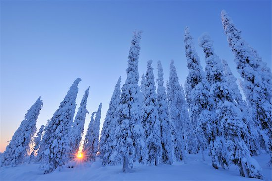 Snow Covered Spruce Trees at Sunrise, Kuusamo, Northern Ostrobothnia, Finland Stock Photo - Premium Royalty-Free, Artist: Raimund Linke, Image code: 600-05610022