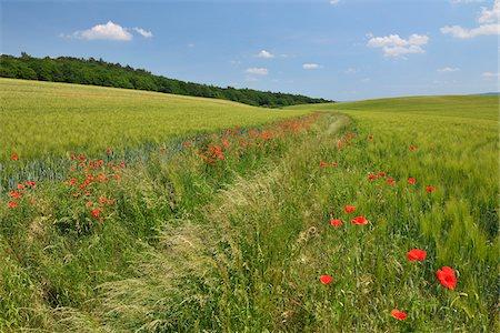 Red Poppies in Field of Grain, Blankenburg, Harz, Saxony-Anhalt, Germany Stock Photo - Premium Royalty-Free, Code: 600-05642072