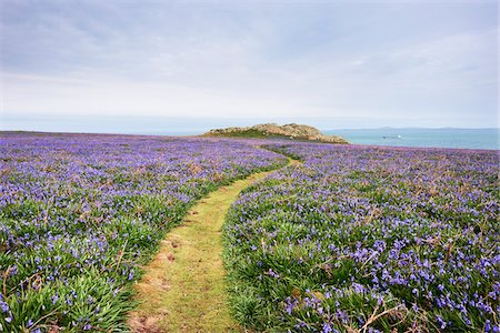 scenic and spring (season) - Footpath and Bluebells, Skomer Island, Pembrokeshire Coast National Park, Pembrokeshire, Wales Stock Photo - Premium Royalty-Free, Code: 600-05653043