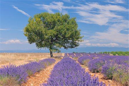 English Lavender Field with Tree, Valensole, Valensole Plateau, Alpes-de-Haute-Provence, Provence-Alpes-Cote d´Azur, France Stock Photo - Premium Royalty-Free, Code: 600-05762090