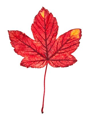 Close-up of Maple Leaf Stock Photo - Premium Royalty-Free, Code: 600-05786335