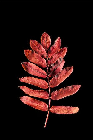 Close-up of Rowan Leaf Stock Photo - Premium Royalty-Free, Code: 600-05786339