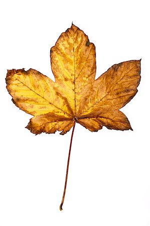 Close-up of Maple Leaf Stock Photo - Premium Royalty-Free, Code: 600-05786340