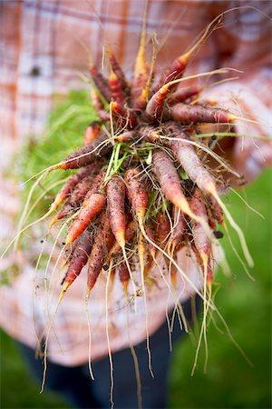 Harvesting Carrots, Bradford, Ontario, Canada Stock Photo - Premium Royalty-Free, Code: 600-05786510