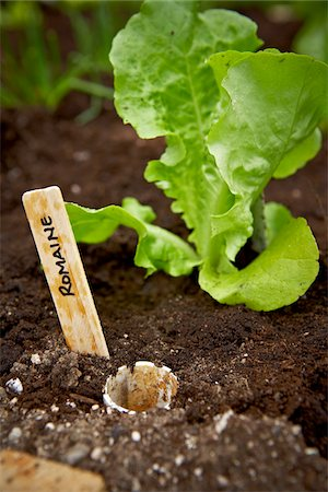 earth no people - Freshly Planted Romaine Lettuce, Bradford, Ontario, Canada Stock Photo - Premium Royalty-Free, Code: 600-05786534