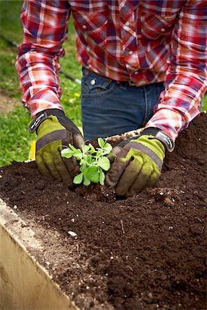 Planting Peas, Bradford, Ontario, Canada Stock Photo - Premium Royalty-Free, Code: 600-05786530