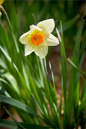 spring flowers - Daffodil, Bradford, Ontario, Canada Stock Photo - Premium Royalty-Free, Code: 600-05786564