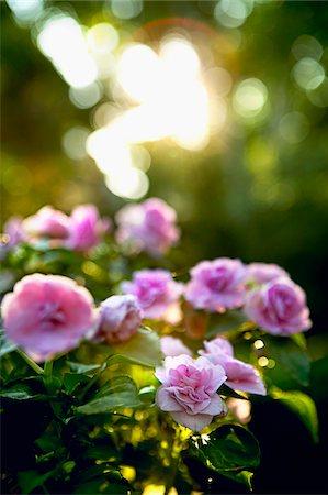 Roses, Ontario, Canada Stock Photo - Premium Royalty-Free, Code: 600-05800589