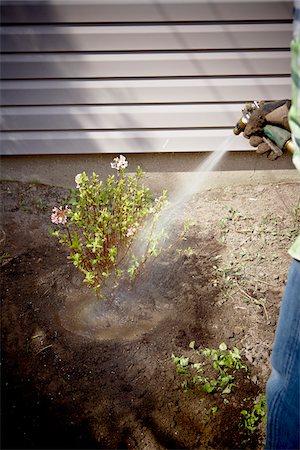 Gardener Watering freshly Planted Daphne Shrub, Toronto, Ontario, Canada Stock Photo - Premium Royalty-Free, Code: 600-05800599