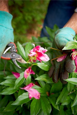 Gardener Pruning Peonies, Toronto, Ontario, Canada Stock Photo - Premium Royalty-Free, Code: 600-05800611